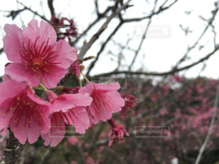 桜の写真・画像素材[517156]