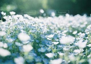 やさしく咲くネモフィラの写真・画像素材[11666]