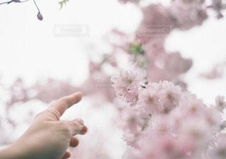 やさしく咲く桜と女性の手の写真・画像素材[11668]