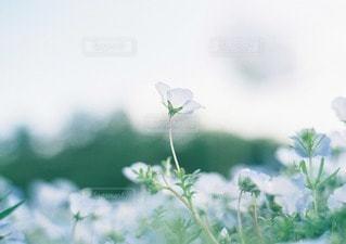 やさしく咲くネモフィラの写真・画像素材[11670]