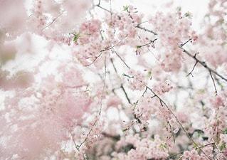 淡い綺麗な色の桜の写真・画像素材[11671]