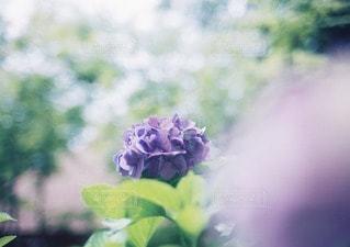 やさしく咲くあじさいの写真・画像素材[11775]