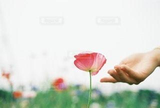 ポピーと女性の手の写真・画像素材[40429]