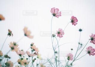 凛と咲くコスモスの写真・画像素材[40568]