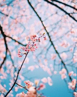 桜と青空の写真・画像素材[344295]
