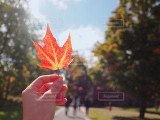 紅葉した葉っぱの写真・画像素材[797991]