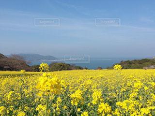 能古島と菜の花の写真・画像素材[1741263]
