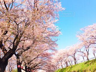 桜 - No.281801