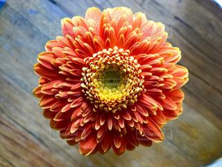 オレンジのガーベラの写真・画像素材[996098]