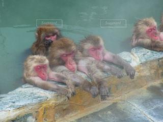 猿の写真・画像素材[282594]