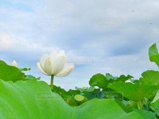 青空と蓮の花の写真・画像素材[1007089]