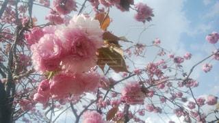 牡丹桜と空の写真・画像素材[1215231]