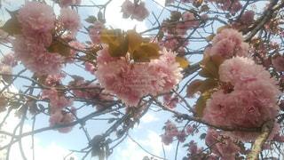 牡丹桜と空の写真・画像素材[1215233]