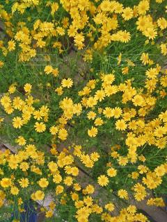 一面の黄色い花の写真・画像素材[1241202]
