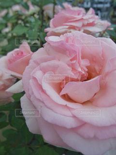 ピンクのバラの花の写真・画像素材[1241203]