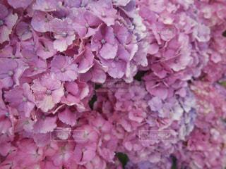 一面の紫陽花の写真・画像素材[1241207]