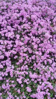 一面ピンクの花の写真・画像素材[2076064]