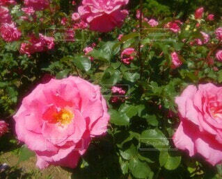 華やかなピンクのバラの写真・画像素材[4292774]