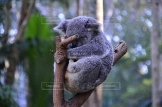 おやすみ中のコアラの写真・画像素材[1104724]