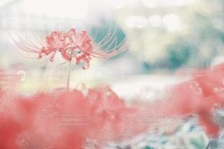 花の写真・画像素材[3804]