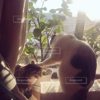 猫の写真・画像素材[337135]