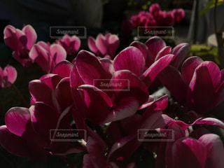 ピンクの写真・画像素材[282924]