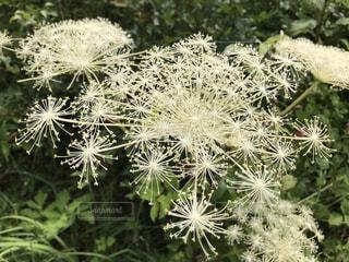 大輪 シシウドの花の写真・画像素材[1402528]
