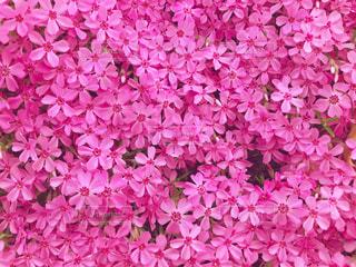 画面いっぱいの芝桜の写真・画像素材[1986234]