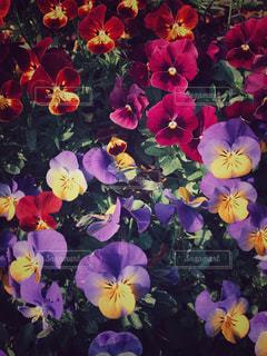 美しいビオラの花々の写真・画像素材[1986236]