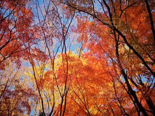 背の高い紅葉の写真・画像素材[2793433]