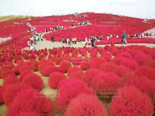 フィールドのカラフルな花のグループの写真・画像素材[746835]