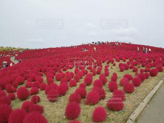 フィールドに赤い花 - No.746839