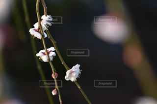 梅花のアップの写真・画像素材[1026938]