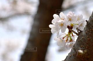 桜のアップの写真・画像素材[1080370]