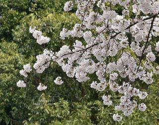 谷中霊園の桜の写真・画像素材[1089409]