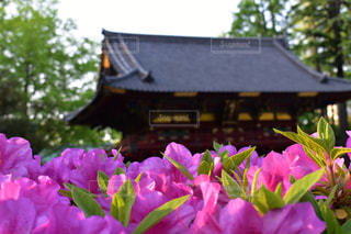 根津神社 ツヅジのアップの写真・画像素材[1146187]