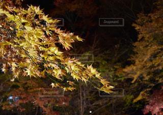 河鹿橋付近の紅葉の写真・画像素材[1604837]