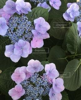 額紫陽花の写真・画像素材[3354462]