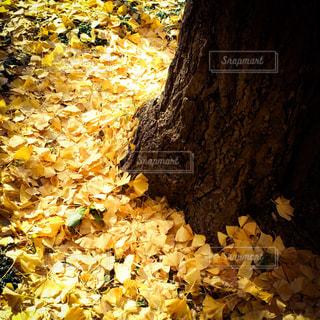 銀杏の絨毯の写真・画像素材[288561]