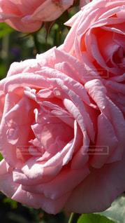 ピンク色のバラの写真・画像素材[297820]