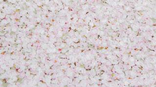 桜の花びらの絨毯の写真・画像素材[308899]