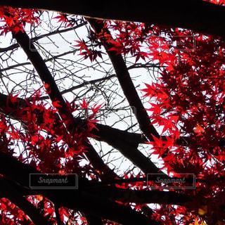 紅葉の写真・画像素材[857143]