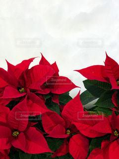 真っ赤なポインセチアの写真・画像素材[876340]