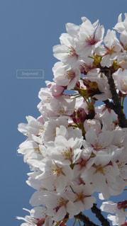 青空に映える桜の花の写真・画像素材[1092686]