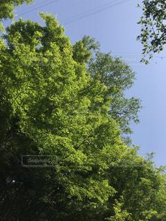 大きな楓の木の写真・画像素材[1150734]