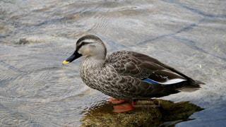 神戸市内の川でゆったり休む可愛い鴨の写真・画像素材[2472554]