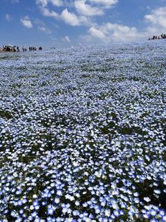 茨城県のひたちなか海浜公園にある一面に広がるネモフィラの美しい花畑の写真・画像素材[2970223]