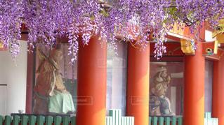 赤坂の日枝神社で見られる藤棚の写真・画像素材[3132121]