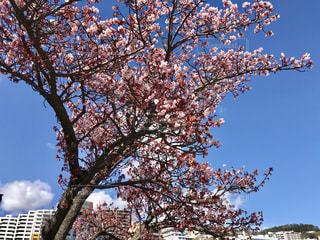 あたみ桜の写真・画像素材[1019477]