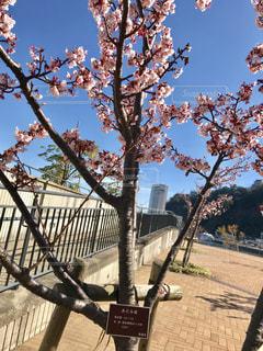 早咲きのあたみ桜の写真・画像素材[1019478]